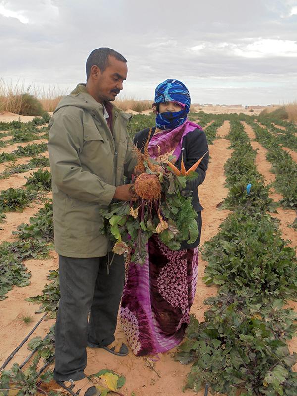 Una producción piloto de zanahoria y remolacha en los campamentos saharauis logra excelentes resultados