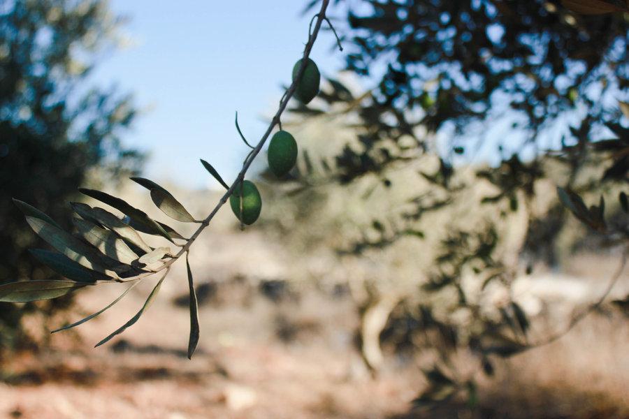La huerta valenciana y la tierra palestina se unen con la iniciativa #OlivoXpalestina