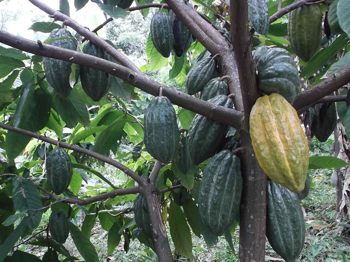 Apoyamos la producción de cacao orgánico en la República Dominicana