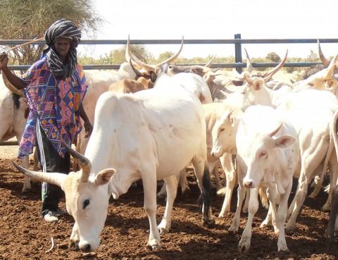 Vacas Mauritania