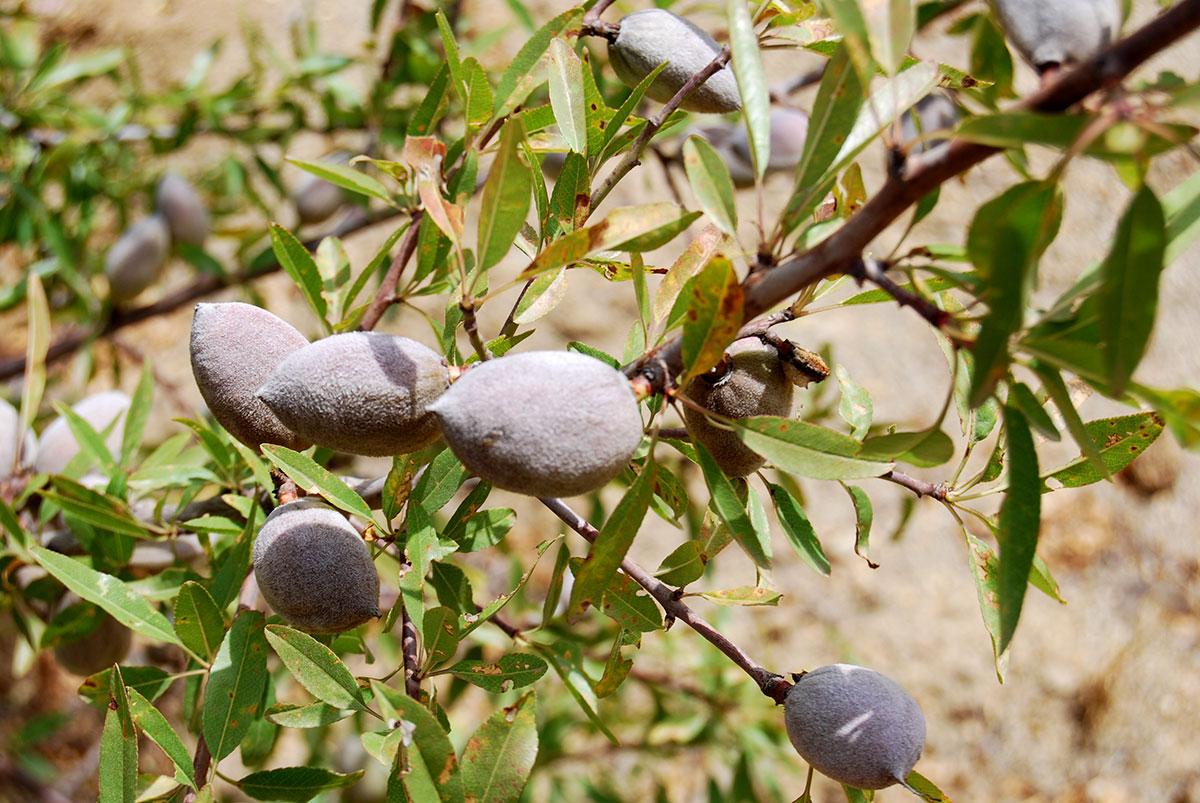 Publicación de TdR para la realización de una formación sobre el cultivo ecológico del almendro en Alhucemas
