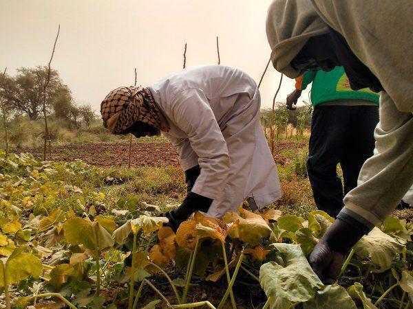 CERAI apuesta por el fortalecimiento del sector hortícola familiar en Podor (Senegal)
