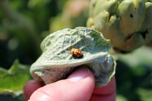Control agroecológico de plagas y enfermedades