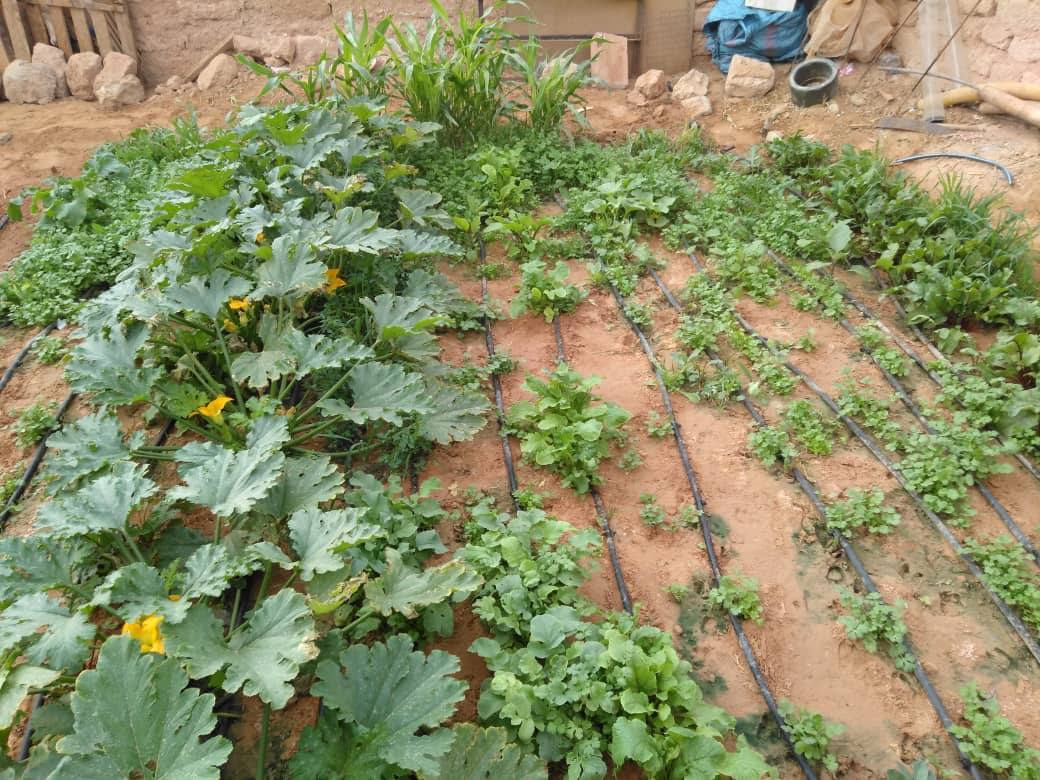 Evolución de cultivos en huerto familiar daira de Amgala, El Aaiún