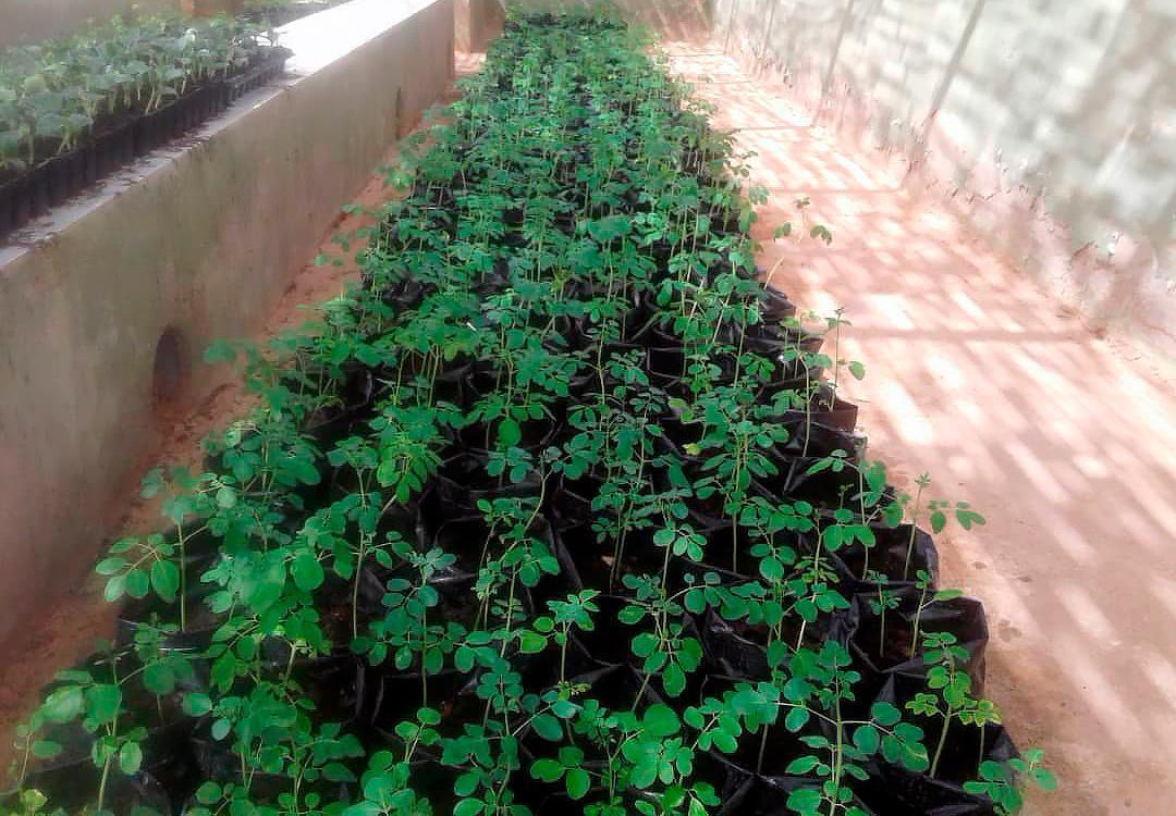 Nueva plantación de árboles de moringa en los Campamentos de Refugiados/as Saharauis