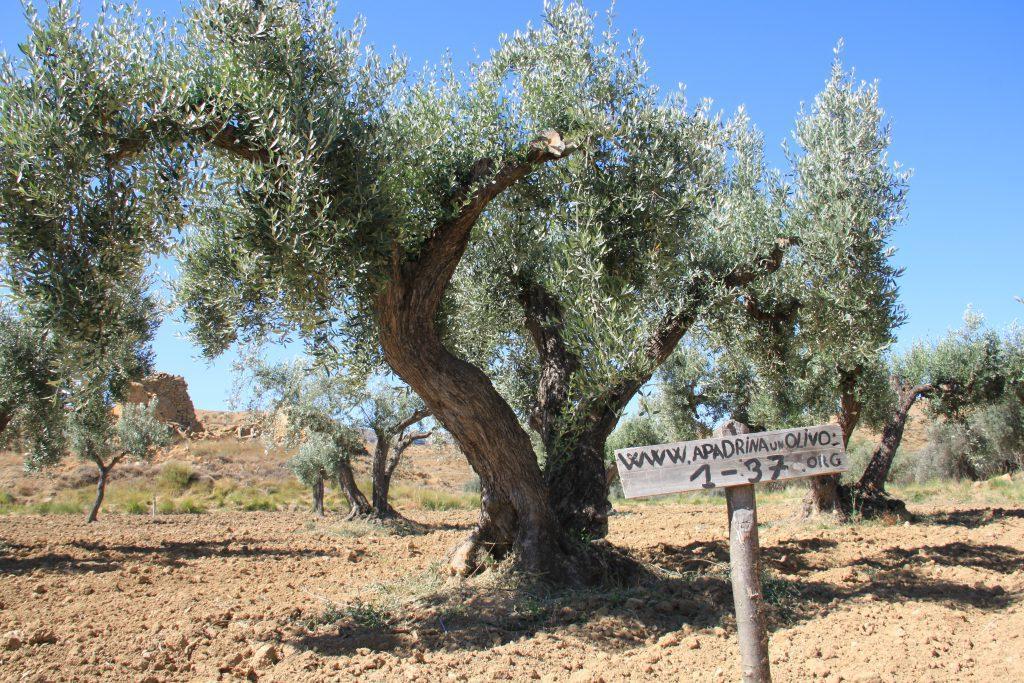 Nos sumamos al apadrinamiento de olivos abandonados en Oliete (Teruel)